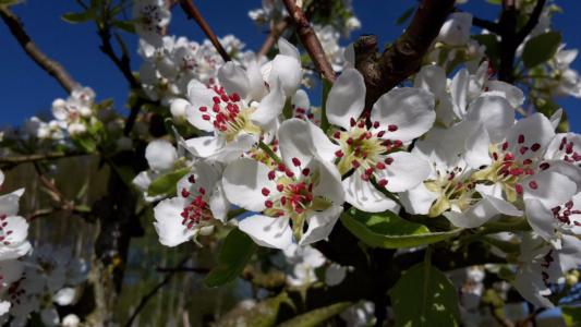 Pastorenbirne in voller Blüte.