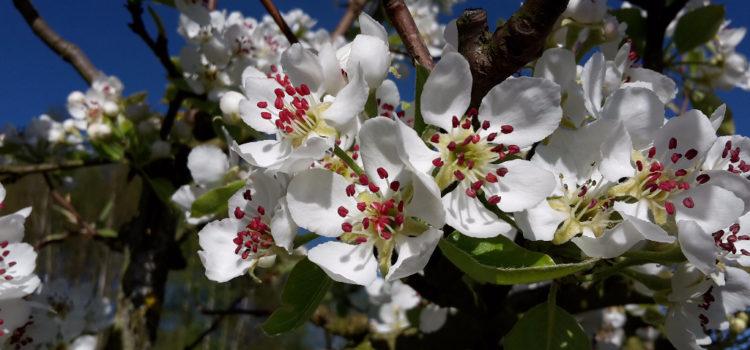 Blühende Pastorenbirne im April
