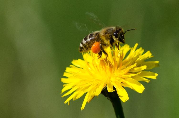 Biene mit prallvollen Pollenhöschen. Aufgenommen von Dirk Köst.