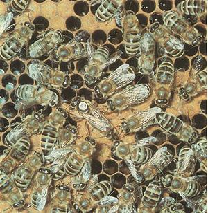 Der Wechselgesang der Bienenköniginnen