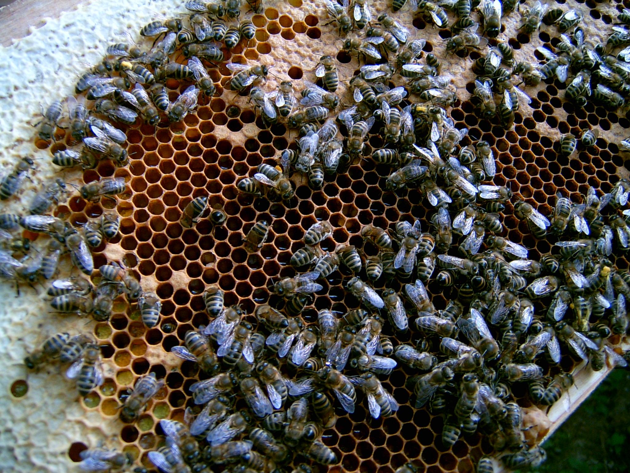 Perfekte Kommunikation - Bienen können einander sehr genau mitteilen, wo Nektar zu finden ist