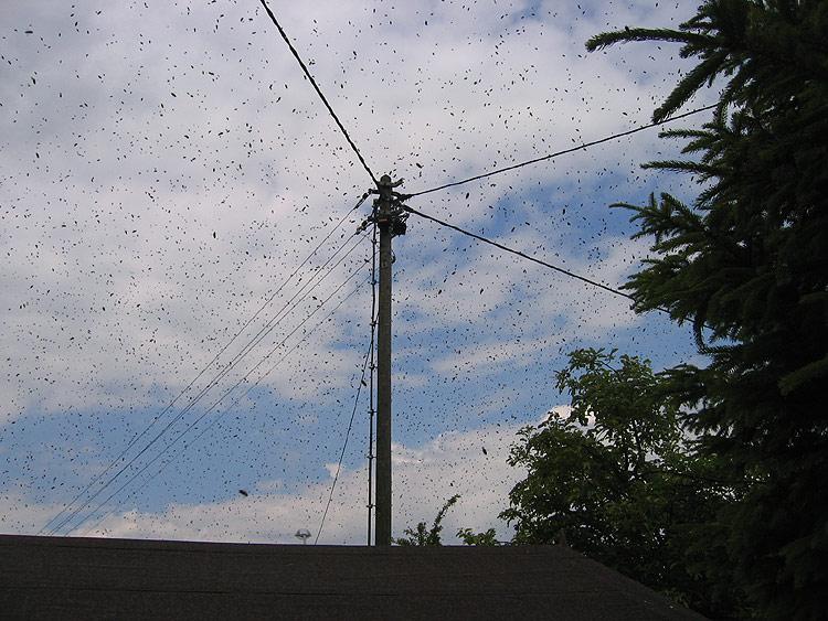 Das brummt schon ordentlich - Ein Bienenschwarm im Frühling.
