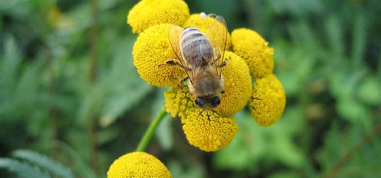 Bestäubungsleistung durch Bienen
