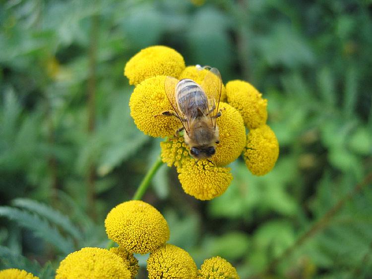 Eine Honigbiene bei der Arbeit