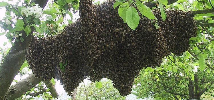 Bienenstiche sind giftiger als Hornissenstiche