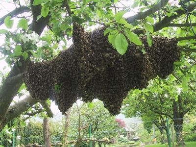 Eine große Traube aus unzähligen Bienen