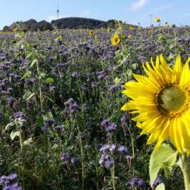 Blühendes Feld in Oberzerf